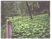 picture of wasabi growing in Japan