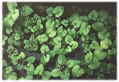picture of wasabi growing